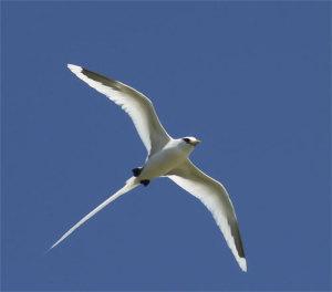 A bosun bird