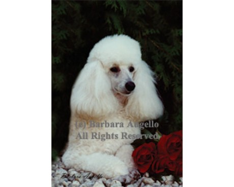 Poodle (White) Flag