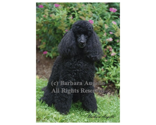 Poodle (Black) Flag