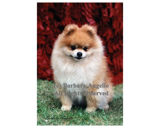Pomeranian Flag (Photo)