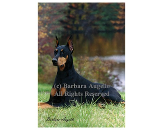 Doberman (Black/Tan) Flag
