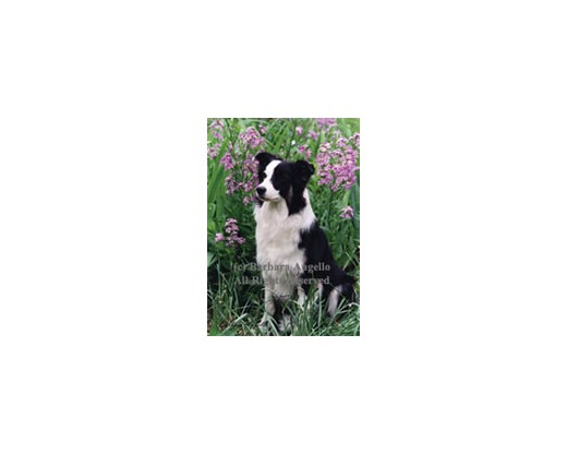 Border Collie Flag (Photo)