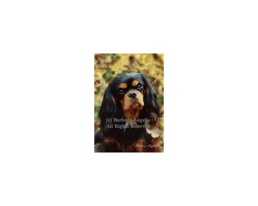 Cavalier King Charles (Black/Tan) Flag