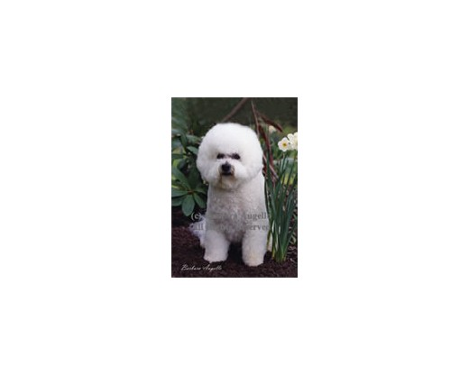 Bichon Frise Flag (Photo)