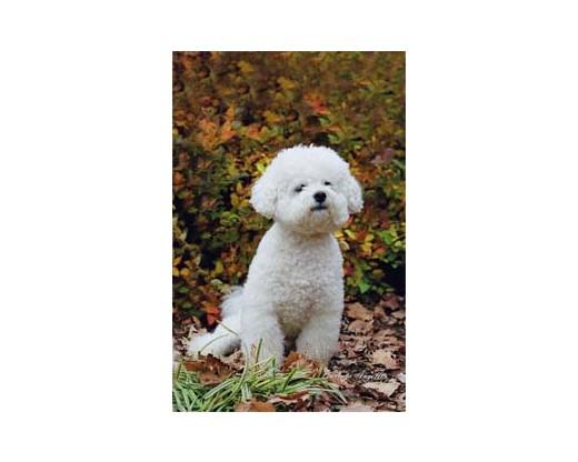 Bichon Frise Puppy Flag