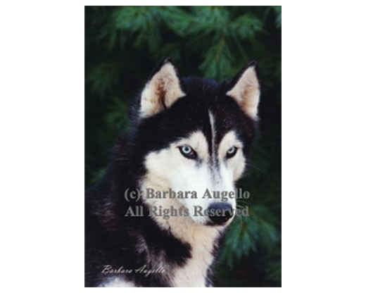 Siberian Husky (Black/White) Flag