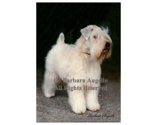 Soft Coat Wheaten Flag