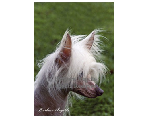 Chinese Crested Flag