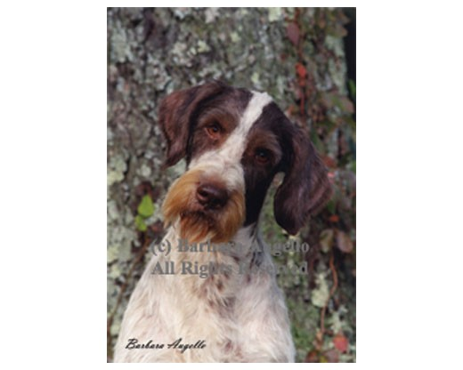 German Wirehair Flag