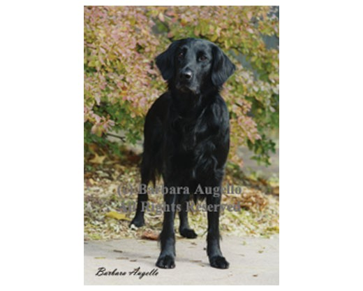 Flat Coated Retriever Flag