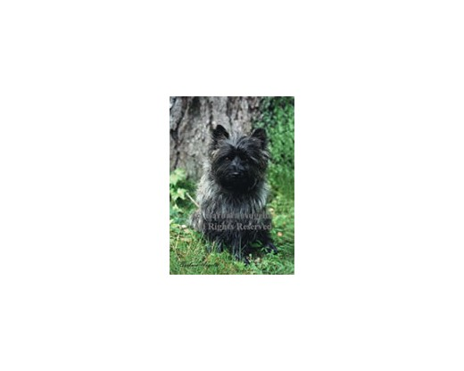 Cairn Terrier (Black) Flag