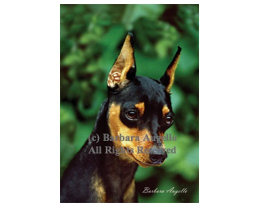 Miniature Pinscher Flag