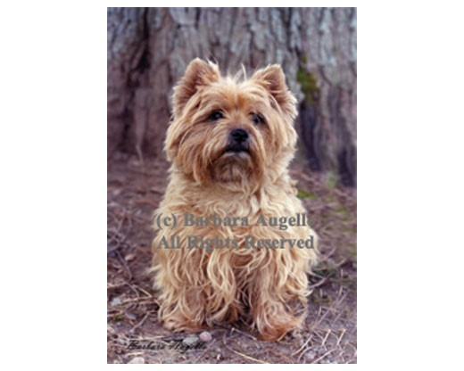 Cairn Terrier Wheat Flag