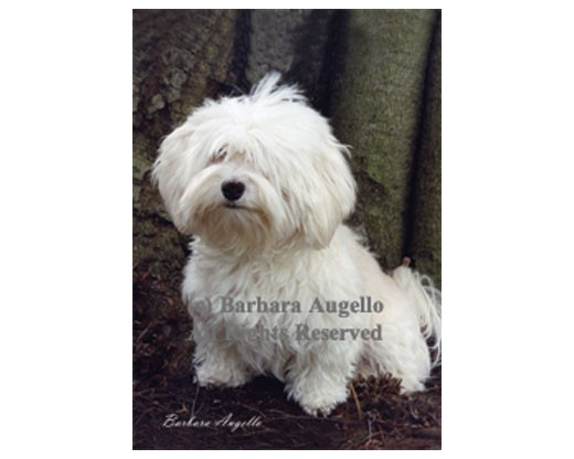 Havanese (Cream) Flag