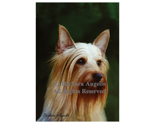 Silky Terrier Flag