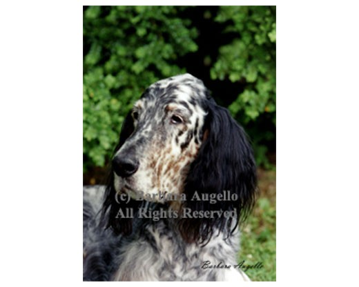English Setter (Tri-Color)-Color Flag